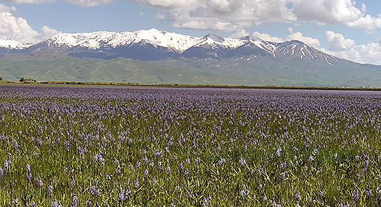 Camas Lilies in Bloom at Centennial Marsh Camas County. Photo courtesy of Ritter Digital Consulting